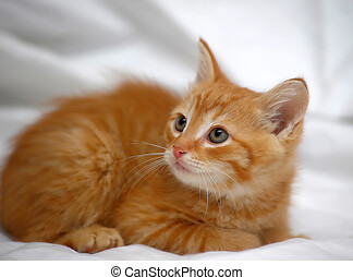 gingembre, chaton, fond, lumière