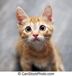 gingembre, chaton