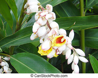 The fragrant blossom of the tropical ginger plant. Plant will grow to 12 ft. Light freezing weather will affect them just like the banana tree.
