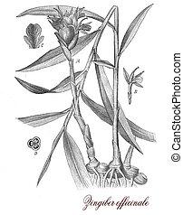 Ginger, botanical vintage engraving - Vintage print ...