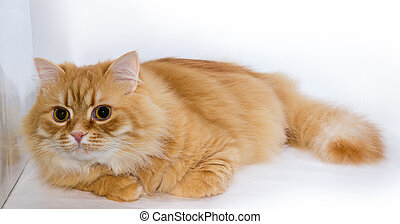 Ginger cat lies on light surface and looking forward