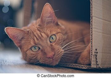 Ginger cat lying in a cardboard box and look to the camera.