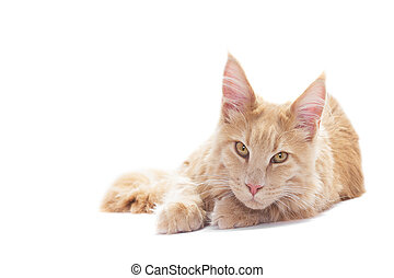 ginger cat on a white background