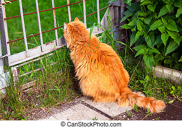 ginger cat sitting outdoors and looking through gate