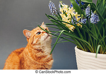 Ginger cat smelling spring flowers in pot. Pet enjoys blooming yellow hyacinths, muscari on grey background. Easter