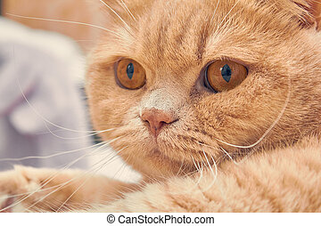 ginger cat with a surprised face. close up