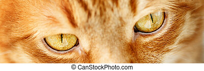 Ginger cat`s yellow eyes close-up