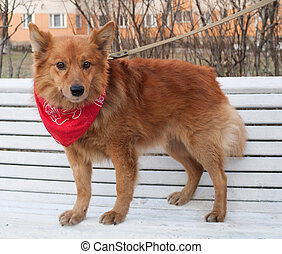 Ginger dog in red bandanna standing on bench