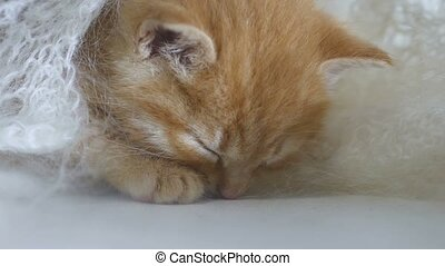 ginger kitten cat sleeps wrapped in white knitted scarf...