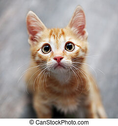 Red cat kitten