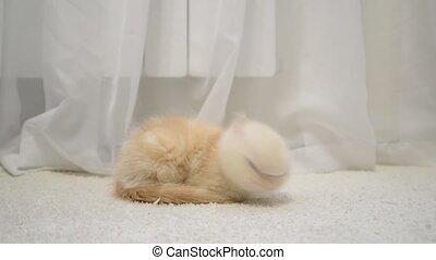 Ginger kitten slumber on carpet - Ginger kitten slumber on...