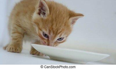ginger kitten video drinking milk from a saucer - ginger...