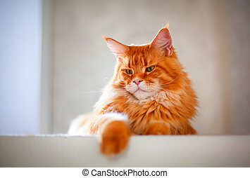 Ginger Maine Coon cat
