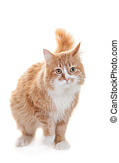 Ginger mixed breed cat on white - Ginger mixed breed cat,...