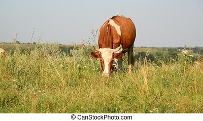 Ginger mottled Cow eating grass on glade - Cow eating grass...