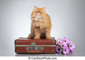 Ginger Persian cat on a suitcase