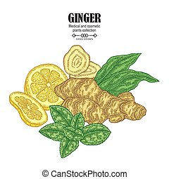 Ginger plant set. Hand drawn composition with ginger root, flowers, mint leaves and lemon tea isolated on white background. Vector illustration. Medical and cosmetic plants.