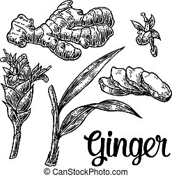Ginger. Root, root cutting, leaves, flower buds, stems....