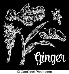 Ginger. Root, root cutting, leaves, flower buds, stems. Vintage retro vector illustration for herbs and spices set.