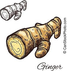 Ginger root sketch for kitchen spice and seasoning