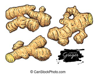 Ginger root vector hand drawn set. Engraved style...