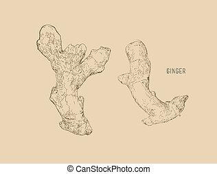ginger set sketch vector.