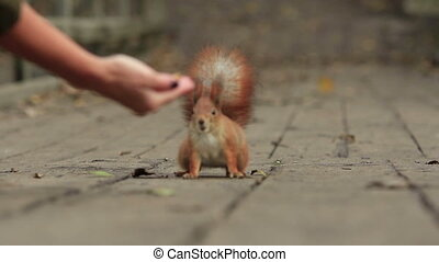 Ginger Squirrel Treat - Ginger squirrel steals to a woman's...
