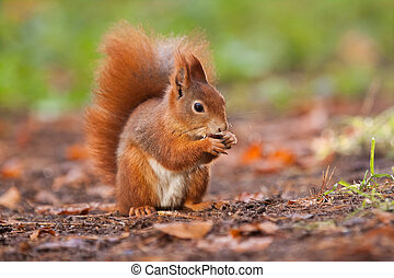 Ginger squirrel with nut