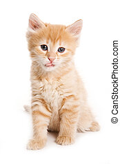 Ginger tabby kitten looking at the camera (isolated on white)
