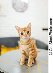Ginger tabby young cat looking in the camera