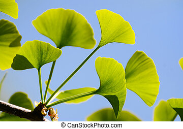Gingko Biloba leaves on the tree illuminated by sun