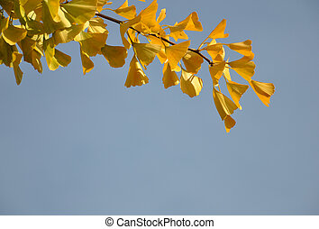 gingko, feuilles, automne
