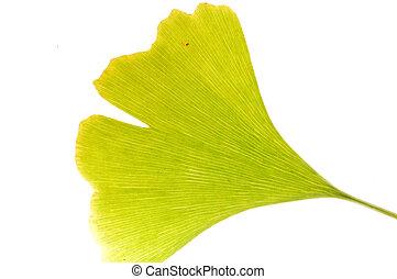 Gingko leaf - Detail of Ginkgo biloba green leaf (Maidenhair...