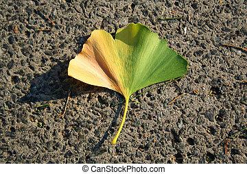 Gingko leaf - Gingko tree leaf on the road. Conifer. Autumn.