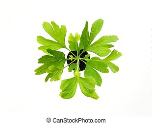 gingko leaves - close-up of green leaves from new ginkgo ...