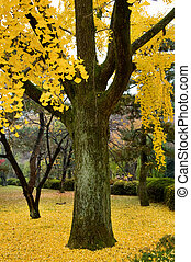 Gingko - The gingko tree covered with golden leafs