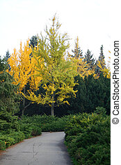 Gingko tree in Autumn. Alley in the park. Nature