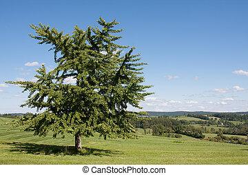 Gingko Tree - Lone gingko tree standing in an open field.