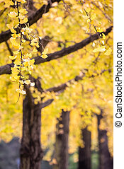 Gingko trees alignment with yellow leaves in autumn