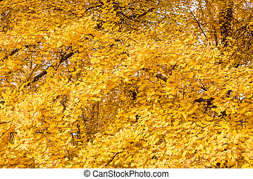 Gingko trees with yellow leaves in autumn background