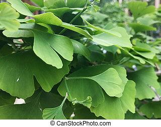 ginkgo の木, biloba