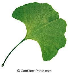 ginkgo の葉, biloba, 隔離された