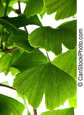 Ginkgo biloba green leaf
