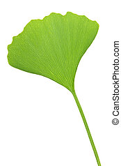 Ginkgo Biloba leaf - Green ginkgo biloba leaf isolated on...