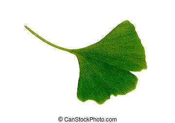 Ginkgo biloba leaf on bright background.
