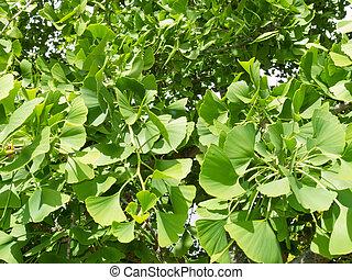 Ginkgo biloba leaves background texture pattern