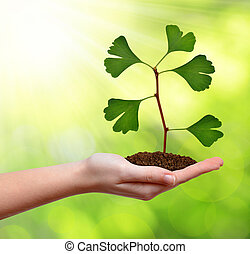 Ginkgo biloba plant growing in hand.