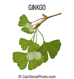 Ginkgo biloba pod with green leaves isolated on white