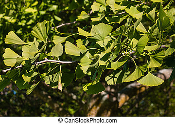 ginkgo biloba tree with fresh leaves in springtime