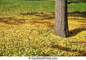 Ginkgo Leaves on the Grass in Autumn